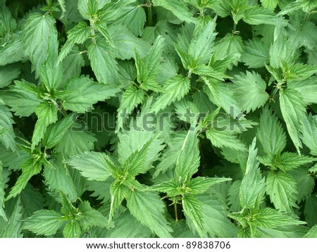 Stinging nettle - stock photo