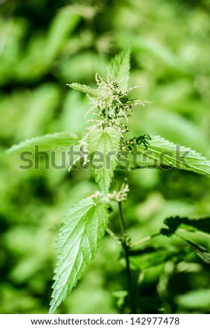 stinging nettle - closeup with shallow depth of field against green background
