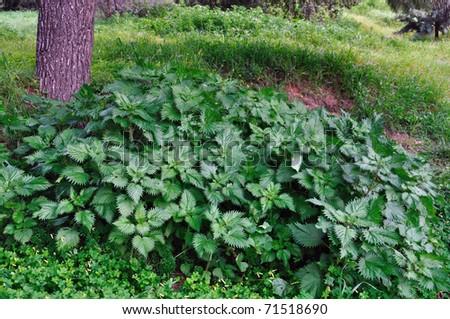laksa plant. Stinging Nettle Plant. stock