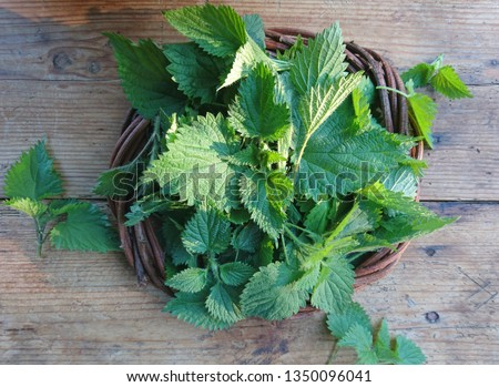 Stinging nettle leaves background. Beautiful spring young nettle top view. Fresh stinging nettle leaves for soup, vitamin salad or tea. Medicinal herb urtica dioica plant for hair, uterine contraction