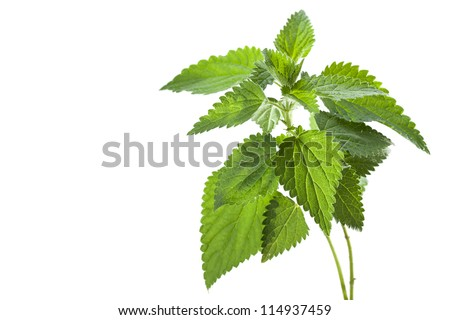 Stinging nettle ( Urtica dioica ), close up