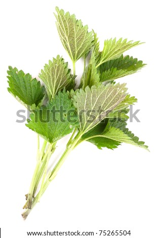 Stinging nettle (Urtica dioica) is rich in vitamins A, C, iron, potassium, manganese, and calcium. Herb can be used to treat arthritis, anemia, hay fever, kidney problems, and pain. - stock photo