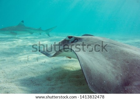 Stingray and shark Swimming in a coral reef #1413832478