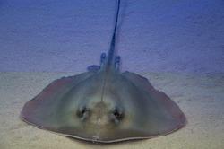 Stingray aquarium