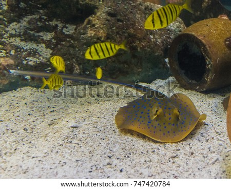 Stingray Blue dots In the aquarium simulated under the sea.