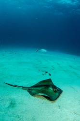stingray from the coral reefs of the mesoamerican barrier. Mayan Riviera, Mexican Caribbean.