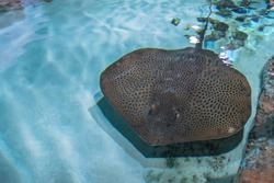 Stingray is a flat marine fish. Rays (skates) deep-water fish. Stingray swimming underwater. Cramp-fish in blue water. Top view.