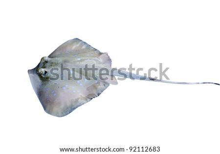 stingray isolated on white background