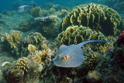 Stingray on the Red sea bottom