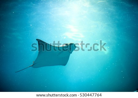 Stingray swimming in the zoo