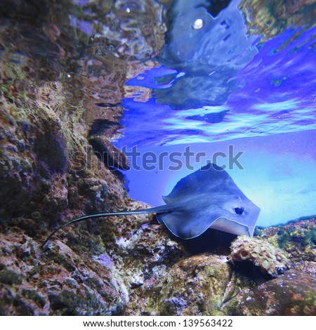 Stingray swimming on tropical coral reef #139563422