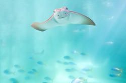 stingray swimming under blue ocean like flying in sky and facing to camera