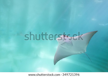stingray swimming under blue ocean like flying in sky and facing to camera #349721396