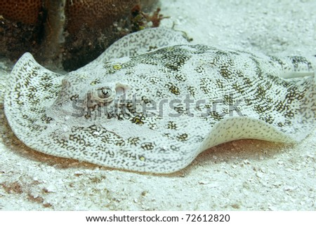 stingray, yellow spotted, honduras manta ray