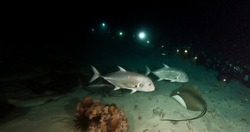 Stingrays and fish swim in dark night underwater at bottom of sea. Marine life under water in blue ocean. Observation of animal world. Scuba diving adventure in Caribbean, coast of Cuba