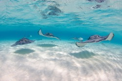 Stingrays swimming towards camera at Stingray city in Grand Cayman Islands