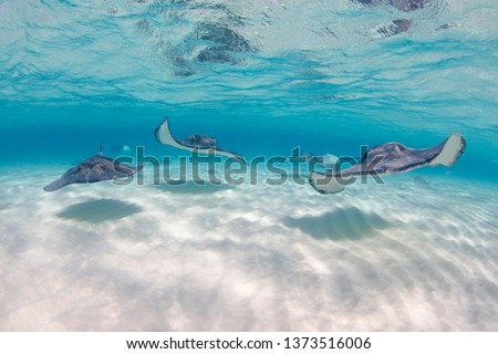 Stingrays swimming towards camera at Stingray city in Grand Cayman Islands