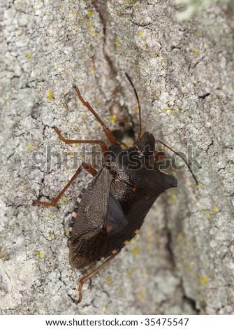 Stink bug on tree. Macro photo.