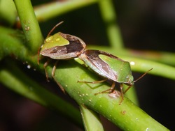 Stink bugs on a pommecythere or ambarella fruit tree in Trinidad, West Indies.