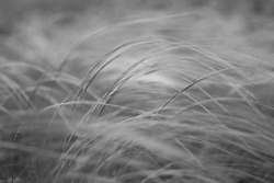 Stipa capillata as known as feather, needle, spear grass in steppe. Listed in red book of Ukraine. Macro photo. Black and white photography.