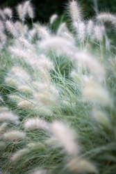 Stipa is a genus of around 300 large perennial hermaphroditic grasses collectively known as feather grass, needle grass, and spear grass.