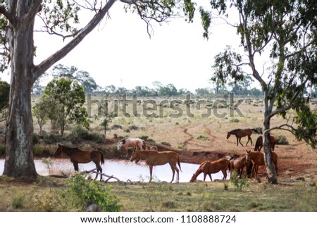 Stock horses drinking from a billabong