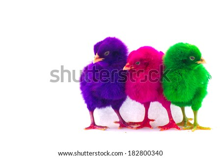 Stock Photo - Colorful cute little baby chicken against white background