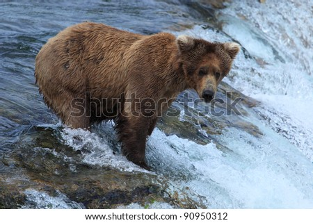 Stock Photo:  Grizzly bears fishing for salmon, Brooks Falls, Katmai NP, Alaska