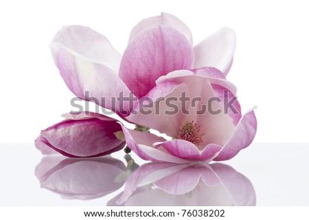 Stock Photo: magnolia flowers