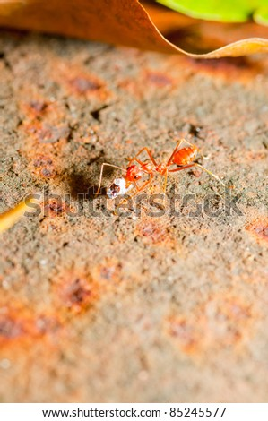 Stock Photo: Red Ant on during busy.