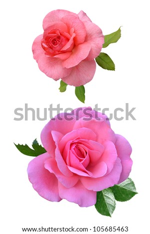 Stock Photo: Roses flowers it is isolated a holiday - stock photo