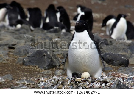 Stock pictures of penguins in the Antarctica peninsula