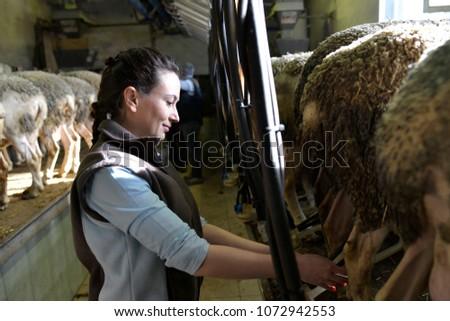 Stockbreeder milking sheeps in the morning