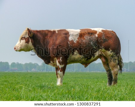 Stocky bull is standing while sleeping in a meadow, seen from the side, full in the picture in a pasture under a blue sky and a faraway straight horizon.