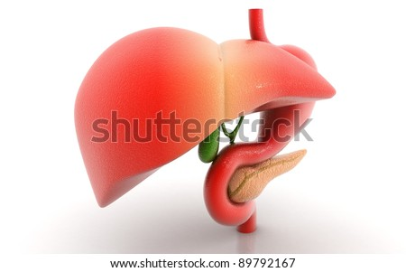 stomach liver and pancreas isolated on a white background