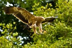 stone eagle hunts its prey
