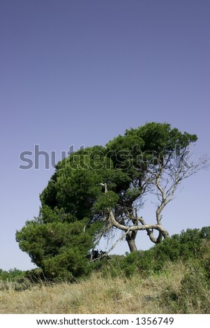 Stone pine can be seen all over the south of France and it\'s much loved for it\'s shape and lovely pine nuts.