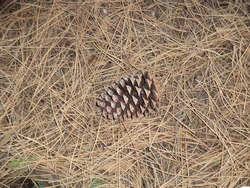 Stone pine cone with pine nuts