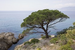 stone pine on the coast of the mediterranean sea - french riviera
