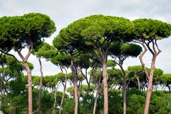Stone pine trees, botanical name Pinus pinea, aka Italian stone pine, umbrella pine and parasol pine, in Rome, Italy