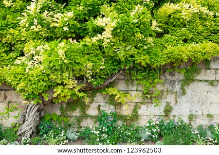 Stone wall and green wisteria