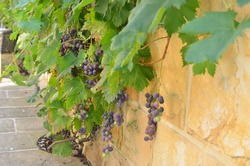 Stone wall in mediterranean style with vine and red grapes