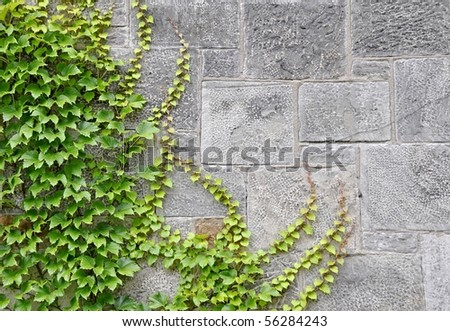 ivy wallpaper. wall with Ivy, background