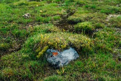 Stone with orange lichen of heart shape among wild flora of highlands. Scenic nature background with alpine lush greenery. Vivid green grasses closeup in mountains. Natural backdrop of mountain flora.
