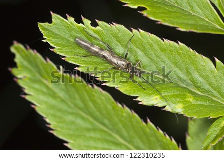 Stonefly, imitations of this insect is often used by fly-fishers. Macro photo