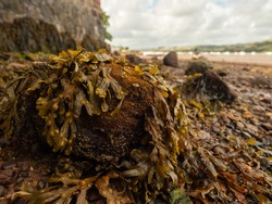 Stones covered with seaweed on a tidal estuary at low tide. River Teign, Shaldon, Devon, UK