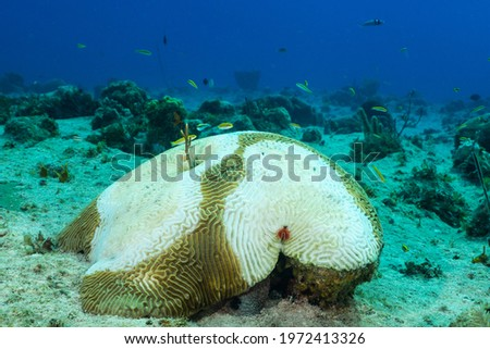 Stony Coral Tissue Loss Disease (STCLD) has begun to eat away at this star coral. The destructive disease is destroying reefs throughout the Caribbean Zdjęcia stock ©