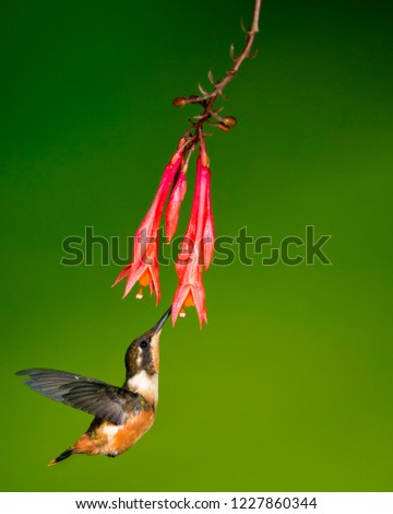 stop action of white-bellied woodstar sipping nectar