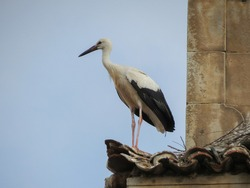 stork animal of phylum Chordata, clade Ornithurae, class Aves (birds)