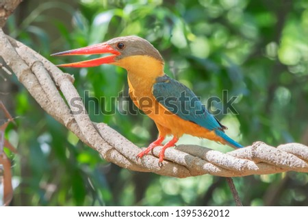 Stork-billed Kingfisher. A profile of an Stork billed Kingfisher